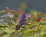 A Blue Grosbeak On Sunny Field.jpg