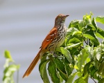 A Brown Thrashers Morning  Perch.jpg