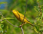 Yellow Warbler On Spring Visit.jpg
